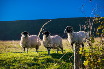 Three Sheep On The Farm, In distance Pendle Hill, Forest Of  Bowland, England UK
