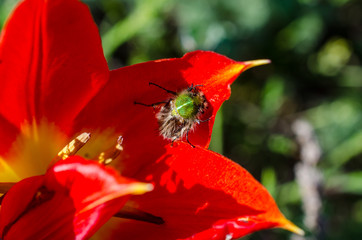 Furry beetle on red tulip flower