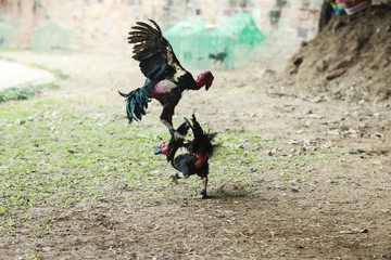 Beautiful asian rooster trained for cockfighting