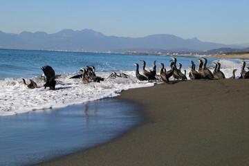 波と戯れる海鵜