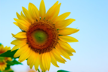 Sunflower with bright morning sky,Cheerful