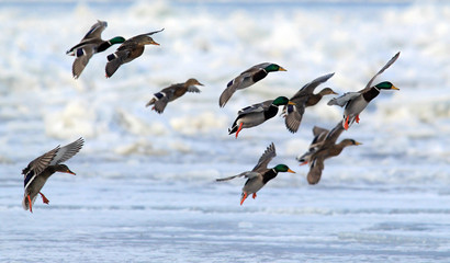 Flock of Mallard Ducks (Anas platyrhynchos) flying.A group of wild ducks flying above snow and ice covered river Danube,in Belgrade,Zemun,Serbia.