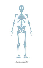 Human Skeleton Isolated on White. Human Body