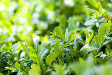 Buxus sempervirens bush - macro details with soft focus