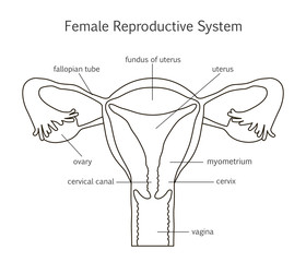 Female Reproductive System Line Icon