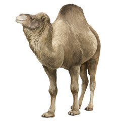 Cartoon artistic looking camel - illustration for children