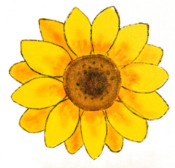 Sunflower on white background, illustration