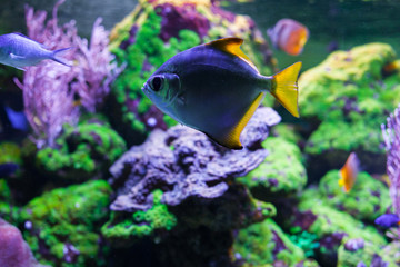 Monodactylus argenteus swimming under water among beautiful bright coral