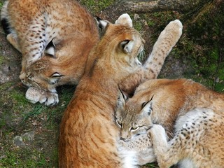 Luchs-Familie (Lynx Lynx) kuschelt im Wald