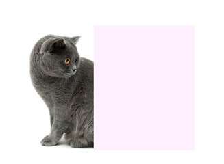 gray cat sits near a banner. white background.