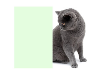 beautiful gray cat sitting at the banner. white background.