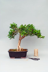 Bonsai tree in a ceramic pot on a plain gray background.