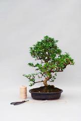 Bonsai tree in a ceramic pot on a plain gray background.