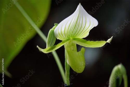 orchid e sabot de v nus verte et blanche 135712992. Black Bedroom Furniture Sets. Home Design Ideas