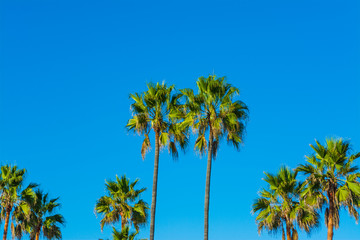 Palm trees in L.A.