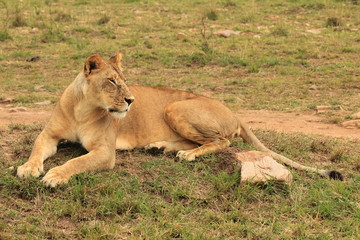 Sitting Lion in Kenya