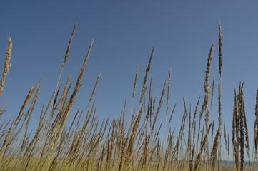 жёлтая трава на фоне голубого неба