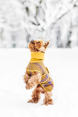 Yorkshire terrier in the snow wearing playing in the park on the snow. Winter time. Dog in coat pullover on white snowy background