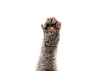 foot gray kitten