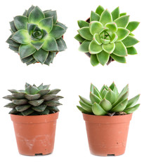 Set of pot plant Echeveria different types isolated on a white b