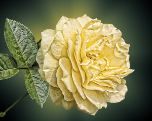 Single yellow rose with leaves on a green/black background