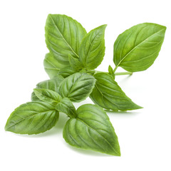 Close up studio shot of fresh green basil herb leaves isolated o