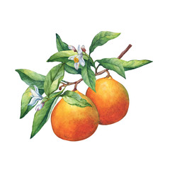 Fresh citrus fruit oranges on a branch with fruits, green leaves, buds and flowers. Hand drawn watercolor painting on white background.