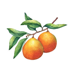 Fresh citrus fruit oranges on a branch with fruits and green leaves. Hand drawn watercolor painting on white background.
