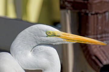 Egret focused