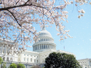 Washington Capitol rain of cherry blossom April 2010