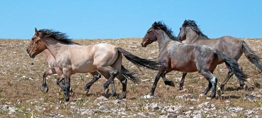 Wild Horse herd of mustangs running in the Pryor Mountains of Montana USA