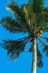 Single coconut palm tree on blue sky