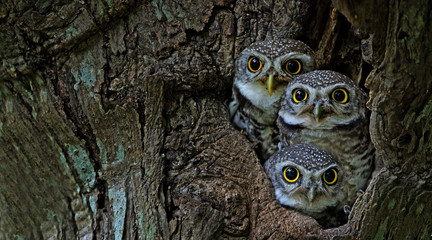 Foto op Canvas Bestsellers Kids Bird, Owl, Three Spotted owlet (Athene brama) in tree hollow,Bird of Thailand