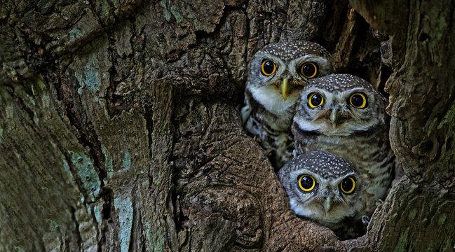 Bird, Owl, Three Spotted owlet (Athene brama) in tree hollow,Bird of Thailand