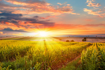 Sunrise over the corn field Wall mural