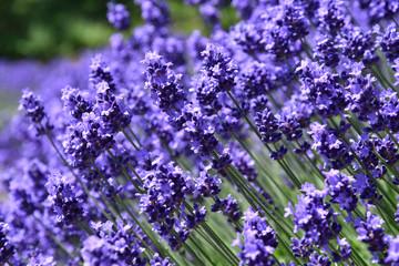 紫色のラベンダーの香り