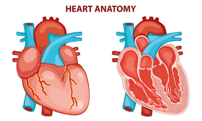 HEART ANATOMY VECTOR ILLUSTRATION