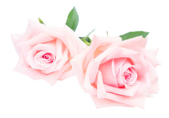 Pair of pink blooming rose flowers buds with green leaves isolated on white background