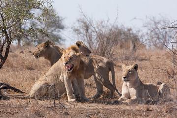 lion, panthera leo, Kruger national park, South Africa