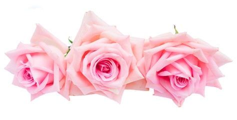 tree pink blooming rose buds isolated on white background