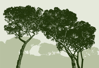 silhouettes of the pine trees