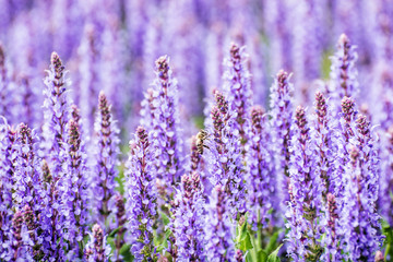 Lavender flowers and honey bee