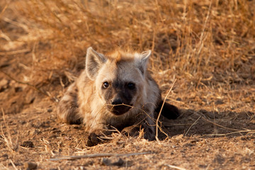 spotted hyena, crocuta crocuta, Kruger national park, South Africa