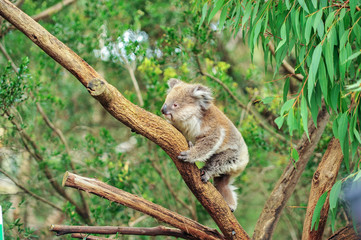 A wild Koala climbing in its natural habitat of gum trees. soft focus