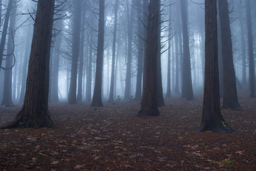 Forest covered by mist in a amazing winter day in Sintra Mountains in Portugal