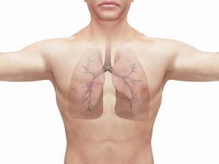 Polmoni sani di uomo render 3d