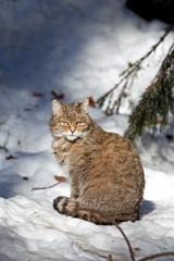 wildcat, felis silvestris
