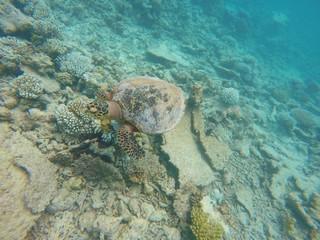 Green turtle swimming over coral reef, Ari Atoll, Maldives