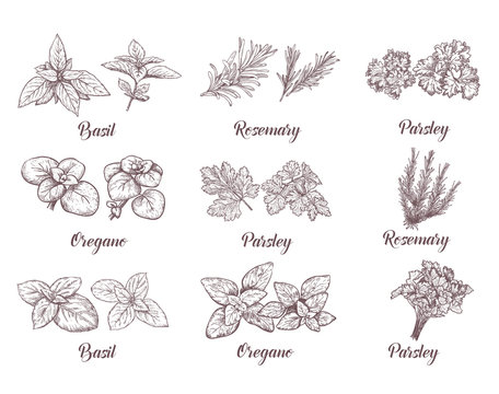Herbs and spices set. Engraving illustrations for tags.