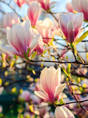 magnolia flowers on a blurry background